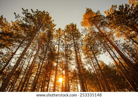 Silhouette of pine forest - stock photo