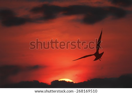 Silhouette of Ring-billed Gull in Flight at sunset - Ontario, Canada - stock photo