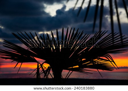 Silhouette of Sabal palmetto leaves against sunset sky - stock photo