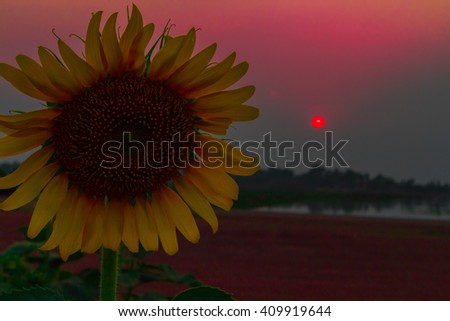 Silhouette of  sunflower in the field at sunset, feeling dark tone - stock photo