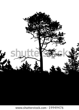 silhouette of the old pine on white background - stock photo