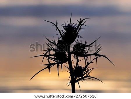 Silhouette of wild thistle in bloom on colored skyline at dawn - stock photo