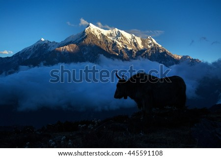 Silhouette of yak at sunset. Nepal, Himalaya.