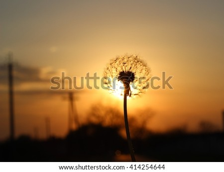 Silhouette one white fluffy dandelion on sunset - stock photo
