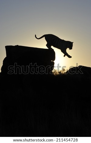 Silhouette shot of a tiger  - stock photo