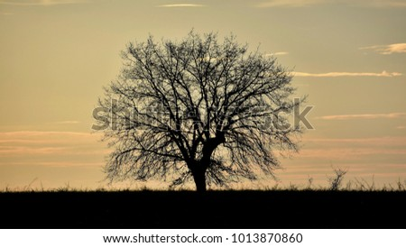 Silhouetted oak tree