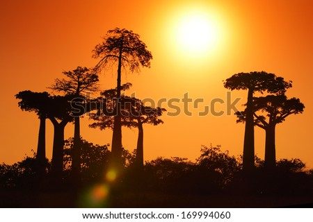 Silhouettes of baobabs over sunrise sky. Madagascar - stock photo