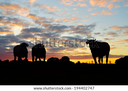 Silhouettes of cows on meadow against dramatic sunset