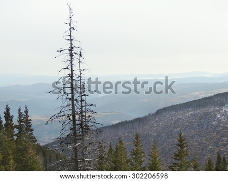 Silhouettes of dead pine trees, hill with burnt forest at the background           - stock photo