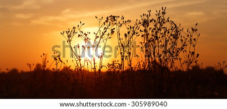 Silhouettes of dry weeds on the background of a golden sunset. Panoramic shot. Shallow depth of field. Selective focus.