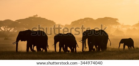 Silhouettes of elephants. The elephants are in the dust