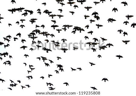 Silhouettes of flying birds - black and white - stock photo