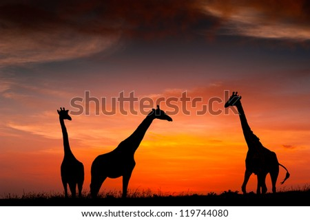 Silhouettes of giraffes against the African sunset - stock photo