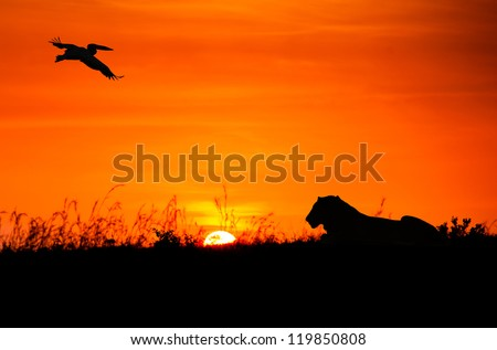 Silhouettes of pelican and lion against the African sunset - stock photo