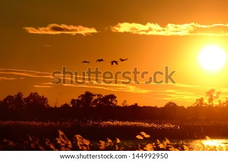Silhouettes of Sandhill Cranes (Grus canadensis) in Flight at Sunset - stock photo