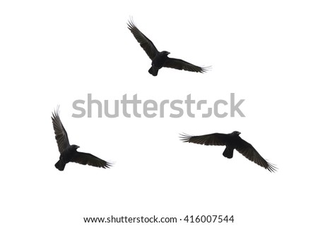 Silhouettes of three flying carrian crows isolated on white