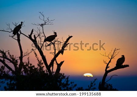 Silhouettes of vultures in a tree at sunset, South Africa - stock photo
