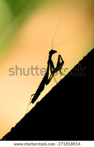 Silhoutte of a small praying Mantis in the rainforest jungle of the Masoala National Park in Madagascar