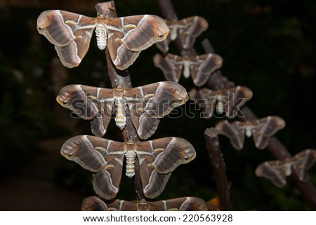 Silk butterfly, Samia ricini, close-up. Perched on branches - stock photo