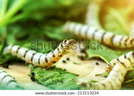 Silk Cocoons with Silk Worm on Green Mulberry Leaf