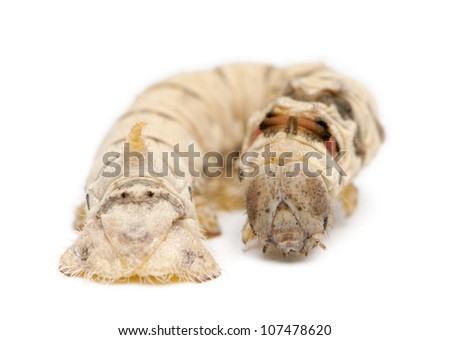 Silkworm larvae, Bombyx mori, against white background
