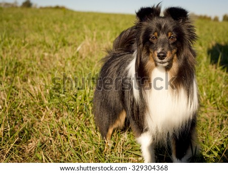 Silky black and white Shetland sheepdog to right of frame in green grassy field