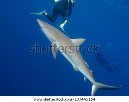 Silky shark (Carcharhinus falciformis) and divers - stock photo