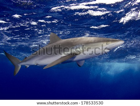 Silky Shark in the Bahamas