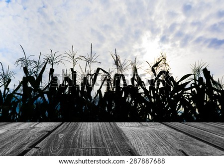 Sillhouette shot of corn field and sky in background. - stock photo