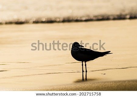 Sillouette of a seagull standing in the waterline at the beach in the morning with water in background - stock photo