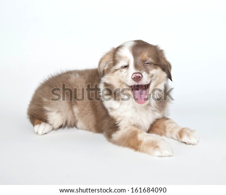 Silly Aussie puppy that looks like someone just told her a joke. - stock photo