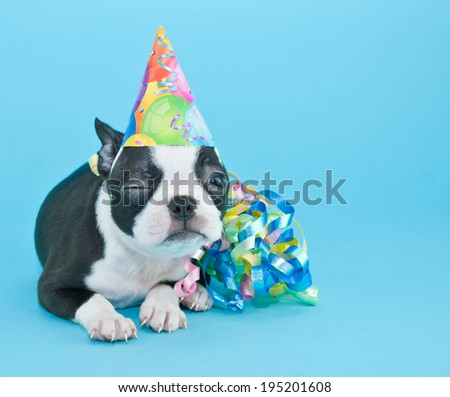 Silly Boston Terrier Puppy winking and wearing a birthday hat on a blue background.