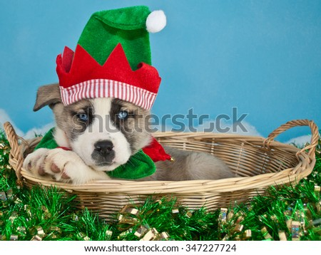 Silly Christmas puppy wearing an elf hat, laying in a basket with Christmas garland around him. On a blue background with copy space.