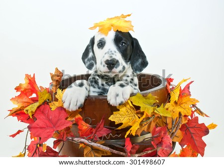 Silly Dalmatian puppy sitting in a bucket with fall leaves around him with a fall leaf that looks like it fell on his head, on a white background.