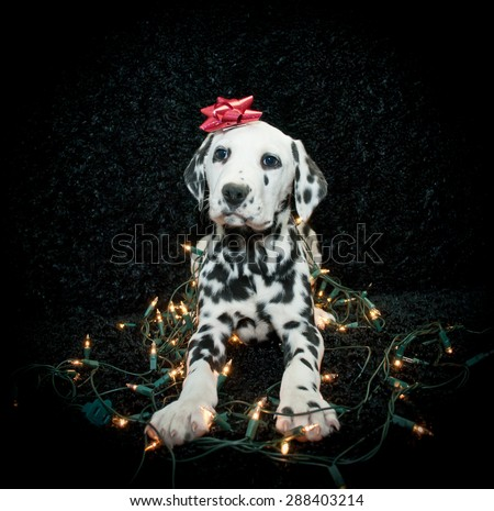 Silly Dalmatian puppy tangled in Christmas lights with a red bow on his head. Along with copy space. - stock photo