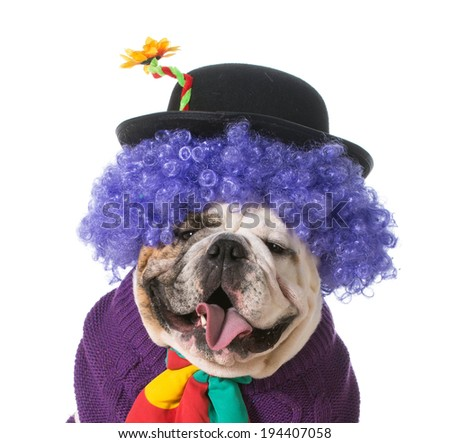 silly dog wearing clown costume on white background - english bulldog - stock photo
