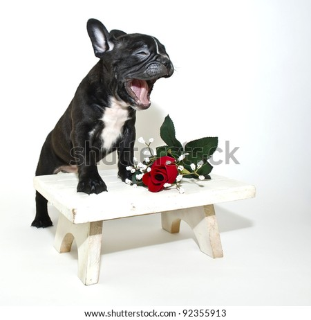 Silly French Bulldog puppy that looks like he is singing or talking with a single red rose on a white background. - stock photo