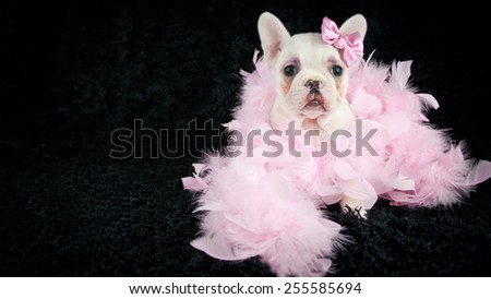 Silly French Bulldog puppy wearing makeup and wearing a boa on a black background with copy space.