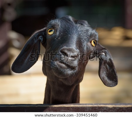 Silly looking black goat, closeup portrait - stock photo