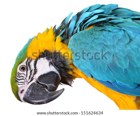 Silly Macaw isolated on white background - stock photo