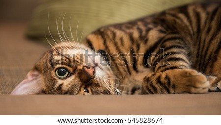 silly toyger kitten playing on couch - lying upside down - striped cat