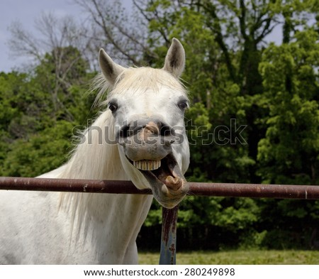 Silly white Arabian horse with twisted mouth - stock photo