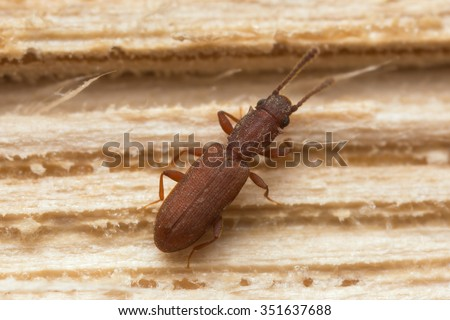 Silvanus bidentatus, Silvanidae on wood - stock photo