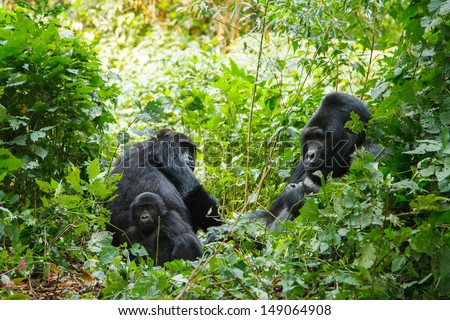 silver back gorilla family in wild on Uganda - stock photo