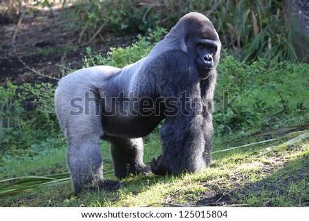 Silver backed Male Gorilla - stock photo