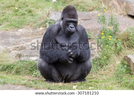 Silver backed male Gorilla, enjoying some rest - stock photo