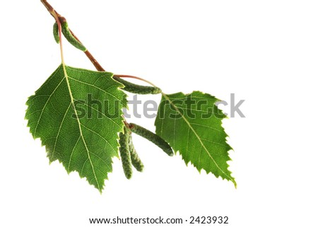 Silver birch leaves isolated on white. - stock photo
