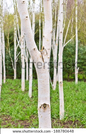 Silver birch trees in a forest in spring - stock photo