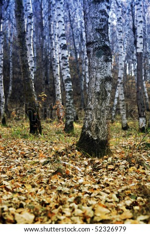 Silver birch woods - stock photo