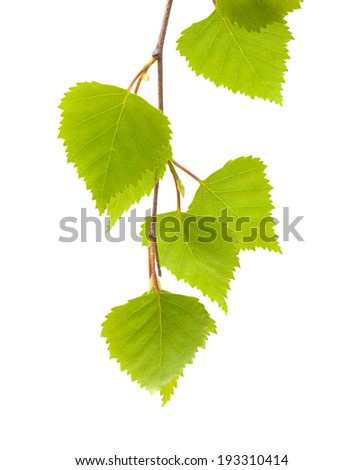 silver birch yougn leaves isolated - stock photo